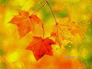 colourful_fall_of_the_maple_leaves